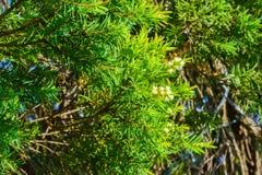 De groene achtergrond van de Bladerenpijnboom, Pijnboombladeren is groen en de bloemen zijn wit stock afbeeldingen