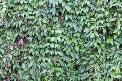De groene achtergrond van de bladmuur Stock Foto's