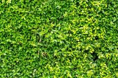 De groene achtergrond van de bladerenmuur Royalty-vrije Stock Afbeeldingen