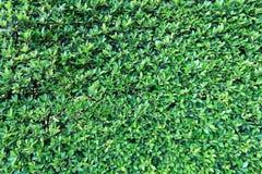 De groene achtergrond van de bladerenmuur stock afbeeldingen