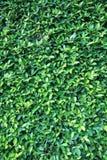 De groene achtergrond van de bladerenmuur stock afbeelding