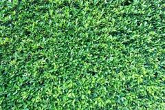 De groene achtergrond van de bladerenmuur royalty-vrije stock foto