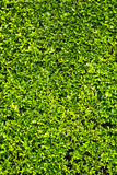 De groene achtergrond van de bladerenmuur Royalty-vrije Stock Fotografie