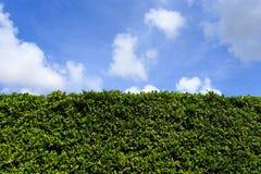 De groene achtergrond van de bladerenmuur met duidelijke hemel stock foto's