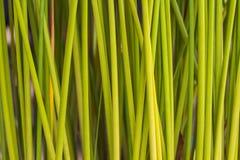 De groene achtergrond van de bladpapyrus stock foto's