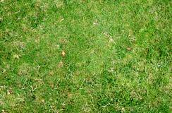 De groene achtergrond van de grastextuur Stock Afbeelding