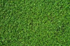 De groene achtergrond van de grastextuur Stock Afbeeldingen