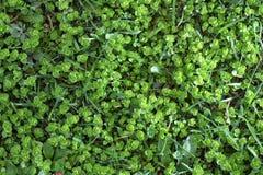 De groene achtergrond van de grastextuur, dauw Stock Foto's