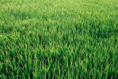 De groene achtergrond van de grasweide Stock Afbeeldingen
