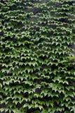 De groene Achtergrond van de Klimop Royalty-vrije Stock Fotografie