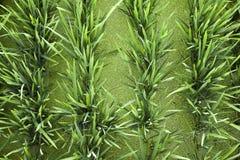 De groene Achtergrond van de Rijst en van het Eendekroos Royalty-vrije Stock Foto's