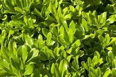 De groene achtergrond van de struik Stock Foto