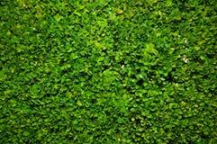 De groene achtergrond van de struik Stock Foto's
