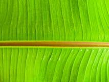 De groene achtergrond van het banaanblad Royalty-vrije Stock Foto's