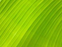 De groene achtergrond van het banaanblad Stock Afbeeldingen