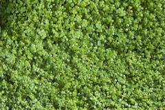 De groene Achtergrond van het Blad Royalty-vrije Stock Fotografie