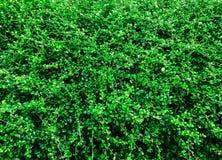 De groene Achtergrond van het Blad Royalty-vrije Stock Foto
