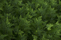 De groene achtergrond van het bladerenpatroon Stock Foto