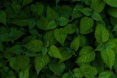 De groene achtergrond van het bladerenpatroon, Natuurlijke achtergrond Stock Fotografie