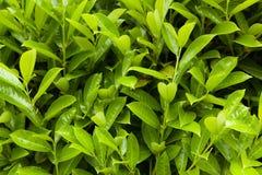 De groene achtergrond van het bladerenpatroon, Natuurlijke achtergrond Stock Afbeelding