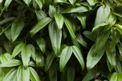 De groene achtergrond van het bladerenpatroon, Natuurlijke achtergrond Royalty-vrije Stock Afbeeldingen