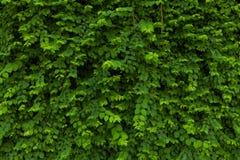 De groene achtergrond van het bladerenpatroon, Natuurlijke achtergrond Royalty-vrije Stock Fotografie