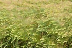 De groene achtergrond van het tarwegebied. Stock Afbeeldingen