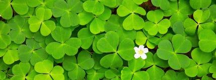De groene achtergrond van klaverbladeren Royalty-vrije Stock Foto's