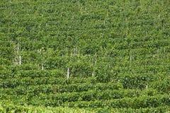 De groene achtergrond van de wijngaardentextuur in een zonnige dag Royalty-vrije Stock Afbeelding