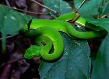 De groene adder van de kuil viperAsian die kuil onder bladeren wordt verborgen royalty-vrije stock foto's