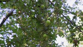 De groene Appelen groeien op een Boom in de Tuin stock video