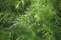 De groene asperge vertakt zich achtergrond met waterdalingen Stock Afbeelding