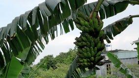 De groene banaanbomen zijn vele vruchten die natuurlijk op de weg groeien royalty-vrije stock afbeeldingen