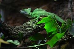 De groene basilisk is onbeweeglijk op de takboom Royalty-vrije Stock Foto's