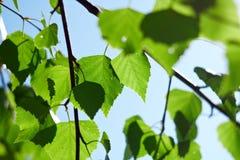 De groene berkbladeren royalty-vrije stock afbeelding