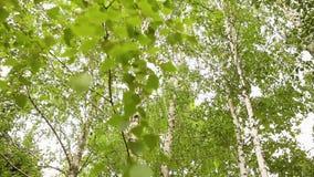 De groene berktakken ontwikkelen zich in de wind Berk, de hemel op de achtergrond stock video