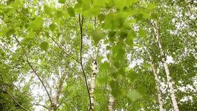 De groene berktakken ontwikkelen zich in de wind Berk, de hemel op de achtergrond stock videobeelden