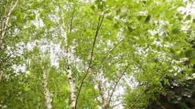 De groene berktakken ontwikkelen zich in de wind Berk, de hemel op de achtergrond stock footage