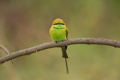 De groene bij-eter stock fotografie