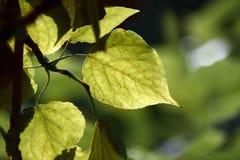 De groene bladeren Stock Afbeeldingen