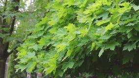 De groene bladeren die van esdoorn in de wind, de bladeren op de esdoornboom golven, gaat op de esdoornboom weg, esdoornboom stock footage