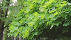 De groene bladeren die van esdoorn in de wind, de bladeren op de esdoornboom golven, gaat op de esdoornboom weg, esdoornboom stock videobeelden