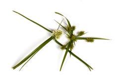 De groene Bladeren en Hoofden van de Zaadpeul van Wild Gras Stock Afbeelding