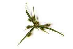 De groene Bladeren en Hoofden van de Zaadpeul van Wild Gras Stock Fotografie