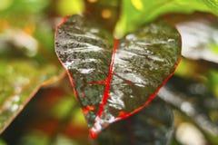 De groene bladeren, het rode overzicht en de helderheid van regenwater tonen de kleur van aard stock fotografie