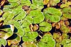 De groene bladeren met waterdalingen, die het volledige meer, worden en de bladeren behandelen verbonden met een brok stock foto's
