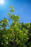 De groene bladeren op een achtergrond van de blauwe hemel Stock Foto's