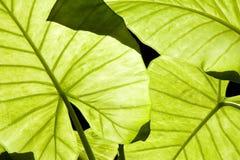 De groene bladeren van Alocasia Royalty-vrije Stock Afbeeldingen
