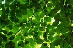 De groene bladeren van de beukboom stock foto's