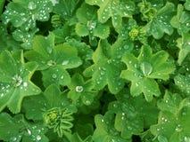 De groene bladeren van de dame` s mantel met dalingen van water stock afbeelding